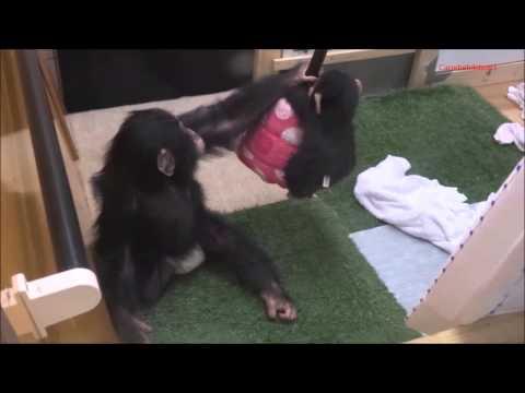Baby chimp Milky at Noichi Zoo #2