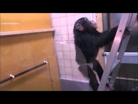 Baby chimp Milky at Noichi Zoo #3.3
