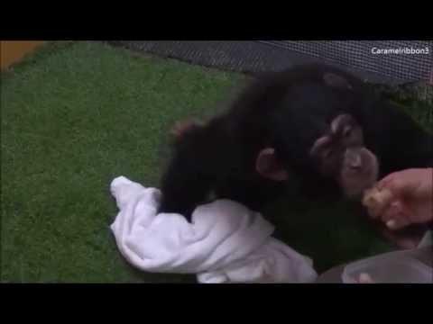 Baby chimp Milky at Noichi Zoo #3.2