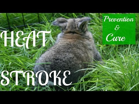 Preventing, Curing, and Signs of Heat Stroke in Rabbits