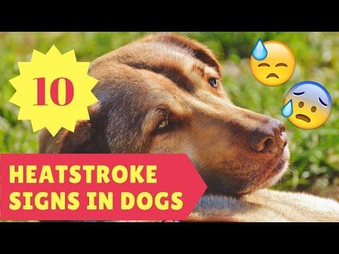 10 Heatstroke Signs in Dogs